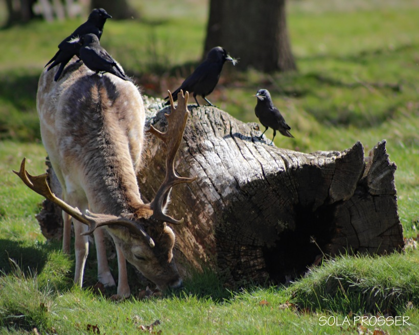 'Good Afternoon Fallow' - A lone Fallow Deer being used as an eating pad by some black birds. Capturing this image was a little tricky as they were all moving ever so quickly.